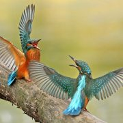 22-king-fisher-fight-bird-photography-by-lukasz