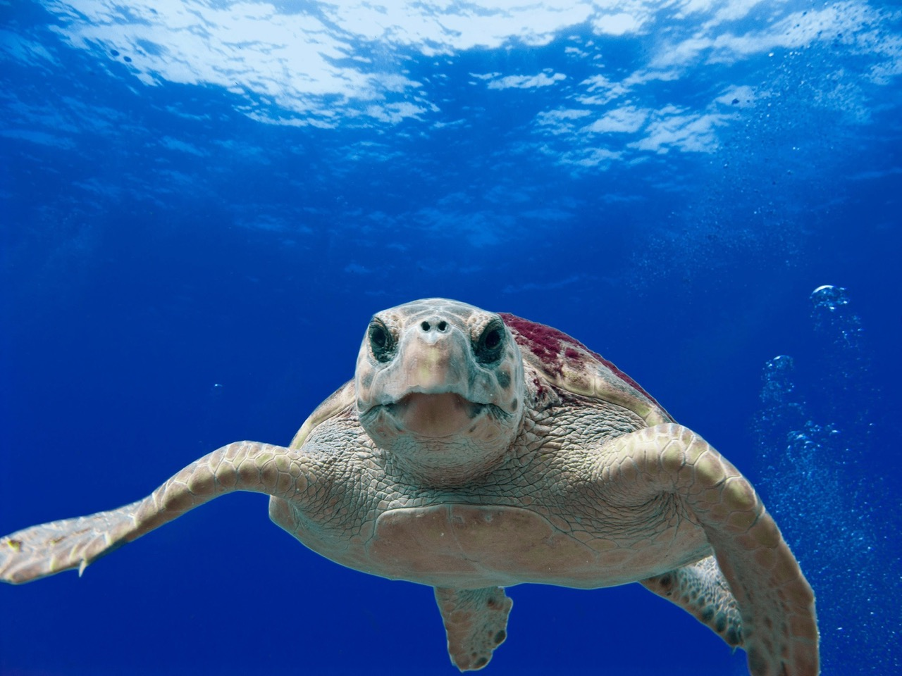 Discover one of the largest sea turtles